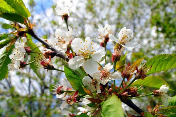 Frühling am Ochsenkopf Blütenzweig Kirschblüten